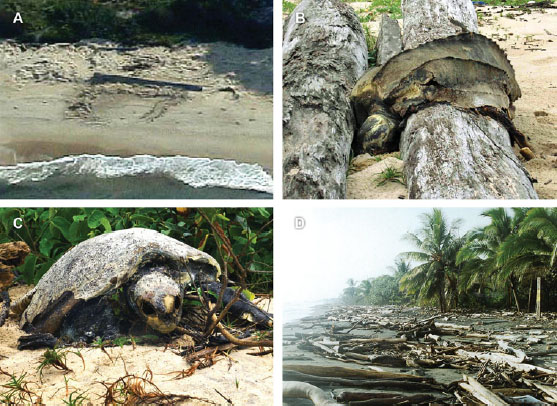 A: an aborted turtle nesting attempt, with the beached log that blocked it. B and C: sea turtles which died at Pongara Beach after becoming entangled in logs. D: dense driftwood on a beach in Costa Rica.