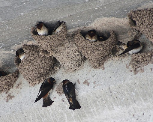 Cliff Swallows hanging out