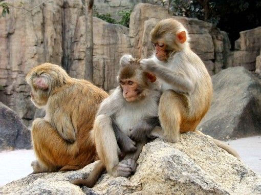 Rhesus macaques being adorable